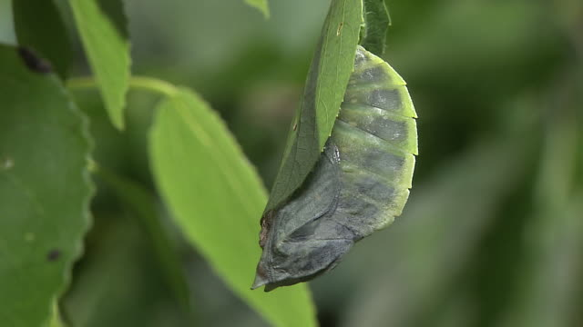 butterfly emerging from pupa - emergence stock videos & royalty-free footage