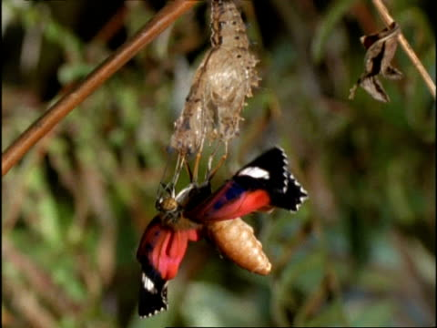 cu butterfly emerging from pupa with crumpled wings, australia - emergence stock videos & royalty-free footage