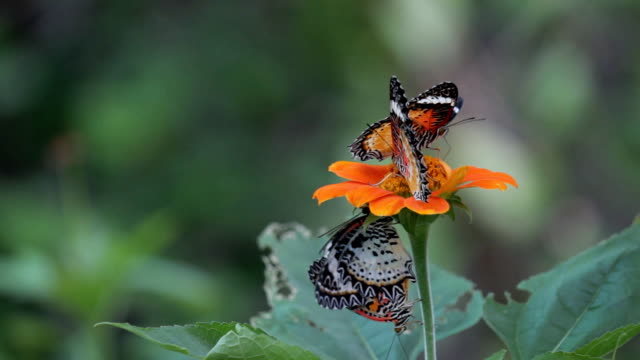 butterfly feeding on a torch flower - animal colour stock videos & royalty-free footage