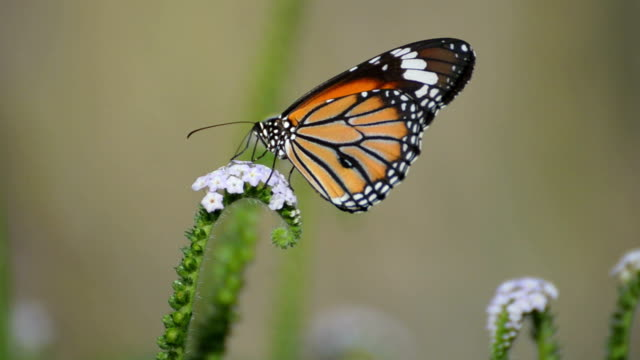 butterfly feeding on a white flower - pleading stock videos & royalty-free footage