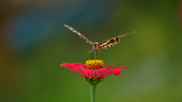 butterfly feeding on flower zinnia. - telecommunications equipment stock videos & royalty-free footage