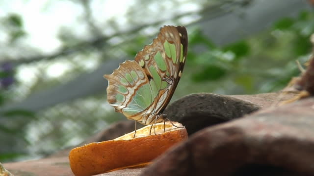 Butterfly feeding on orange slice