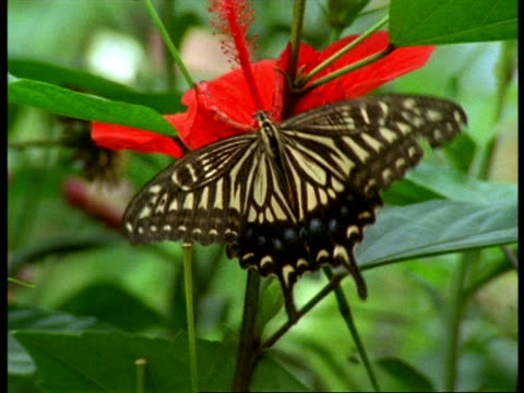 stockvideo's en b-roll-footage met cu butterfly feeding on red flower, england - vachtpatroon