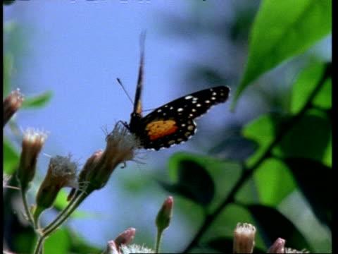 butterfly feeding on white flower, australia - animal markings stock videos & royalty-free footage
