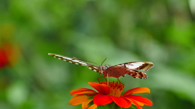 butterfly feeding on zinnia. - bush stock videos & royalty-free footage