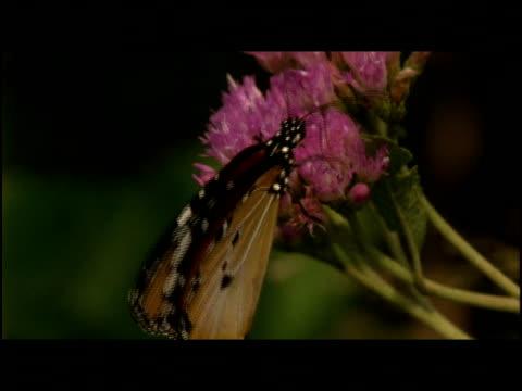 vídeos y material grabado en eventos de stock de a butterfly feeds on a blossom. - artrópodo