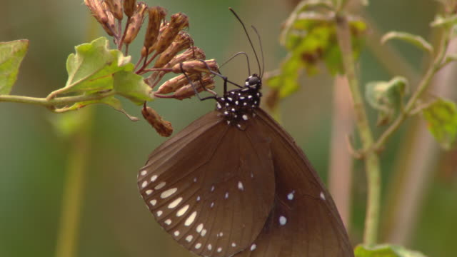 a butterfly feeds on a flowering plant. - flowering plant stock videos & royalty-free footage