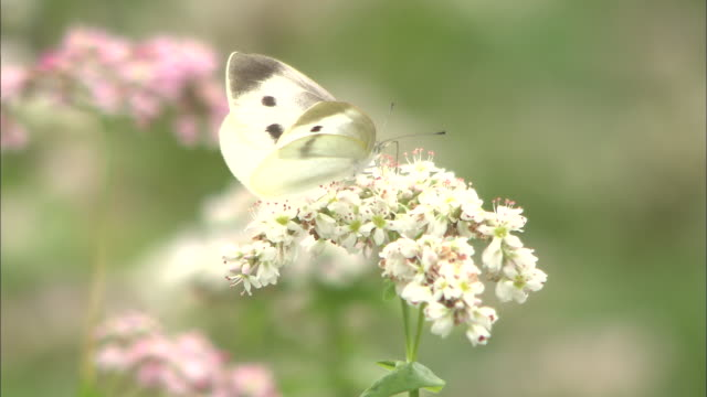 Butterfly feeds on buckwheat flower nectar before flying away