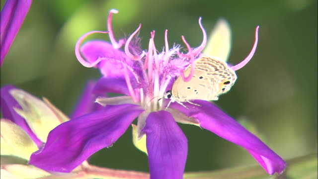 a butterfly feeds on the nectar of a vivid purple flower. - pistil stock videos & royalty-free footage