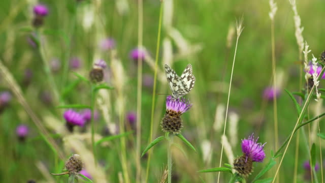 butterfly feeds on thistle flower then flies off - le quattro stagioni video stock e b–roll