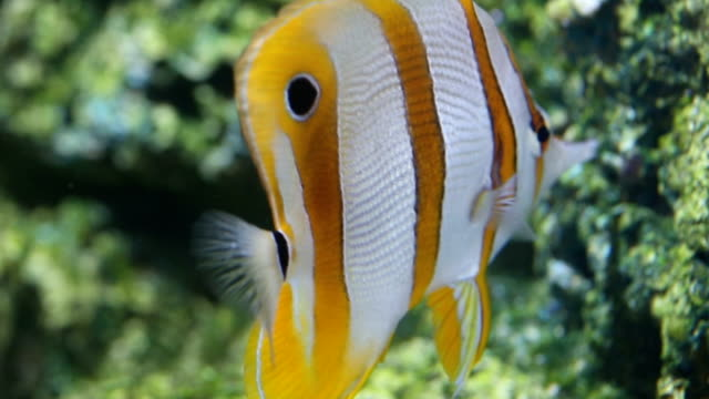 butterfly fish are swimming. - butterflyfish stock videos & royalty-free footage