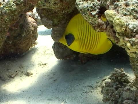 vídeos y material grabado en eventos de stock de butterfly fish, cu avoiding current, predators - menos de diez segundos