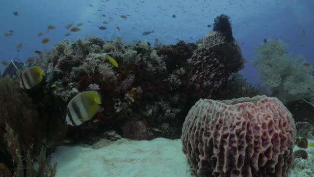 vídeos y material grabado en eventos de stock de mariposa peces nadando esponja barril gigante submarino - esponja