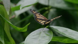 Butterfly flapping in slow-motion