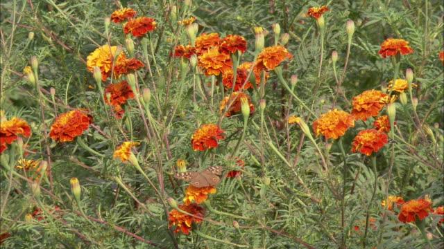 a butterfly flaps its wings on a marigold flower. - gliedmaßen körperteile stock-videos und b-roll-filmmaterial