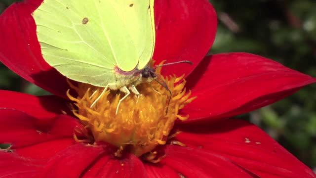 farfalla, fiore e bombo al rallentatore. - invertebrato video stock e b–roll