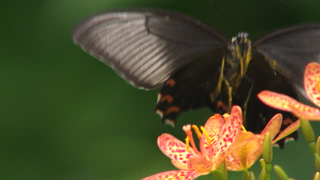 butterfly flying away from a flower with pollen on its legs - tierflügel stock-videos und b-roll-filmmaterial