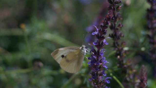 cu slo mo butterfly flying away from purple flower / morristown, new jersey, usa - アブラナ科点の映像素材/bロール