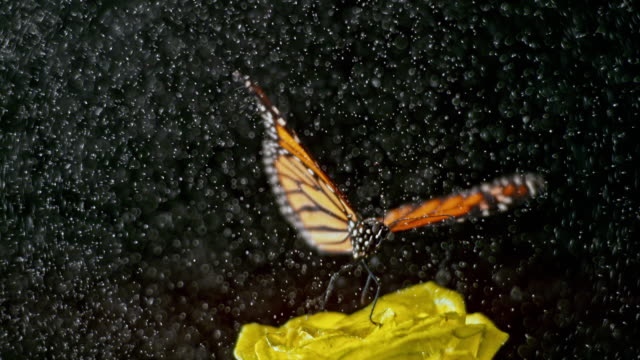 slo mo butterfly flying from a rose in rain - farfalla video stock e b–roll