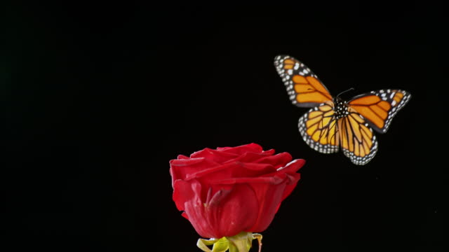 slo mo butterfly flying off a red rose on black background - farfalla video stock e b–roll