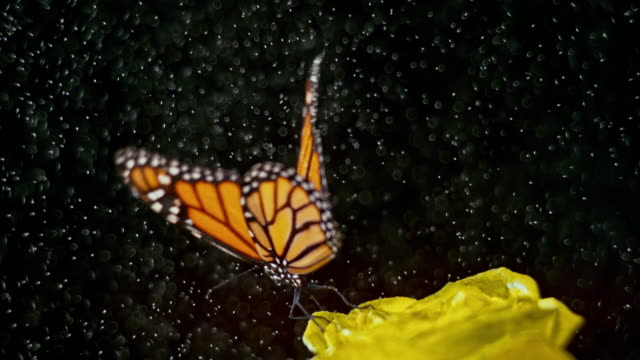 SLO MO Butterfly flying off a yellow rose as the rains starts to fall