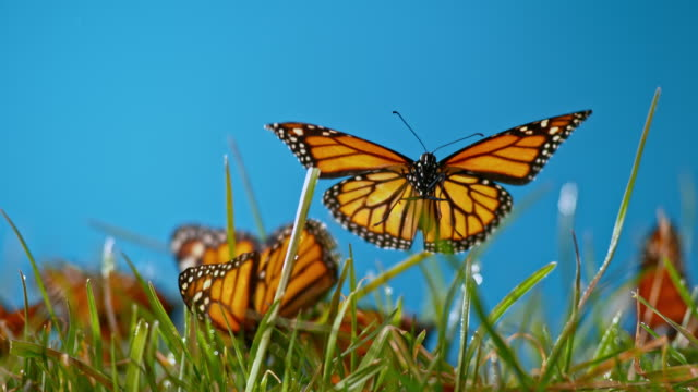 slo mo ld butterfly flying off the grass in sunshine - gruppo medio di animali video stock e b–roll
