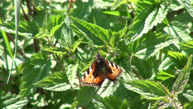 cu butterfly flying on urtica dioica leaves / serrig, rhineland-palatinate, germany - nettle stock videos & royalty-free footage