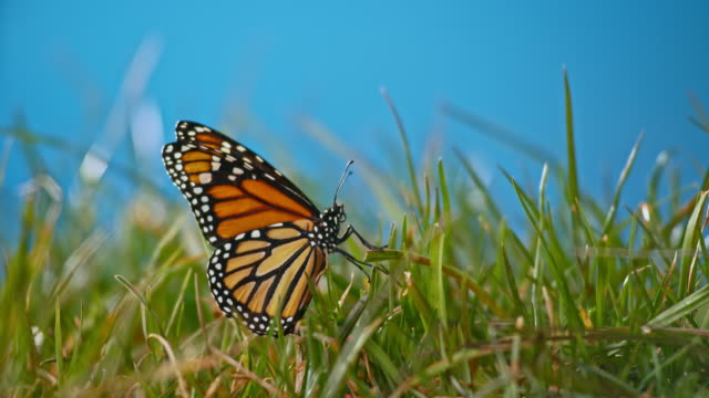 slo mo butterfly flying up from the green grass in sunshine - farfalla video stock e b–roll
