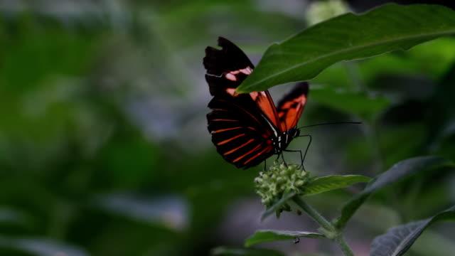 Butterfly HD 1080