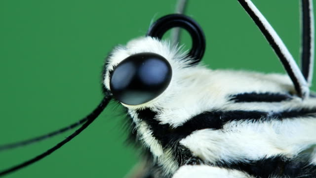 butterfly head close-up - animal eye stock videos & royalty-free footage