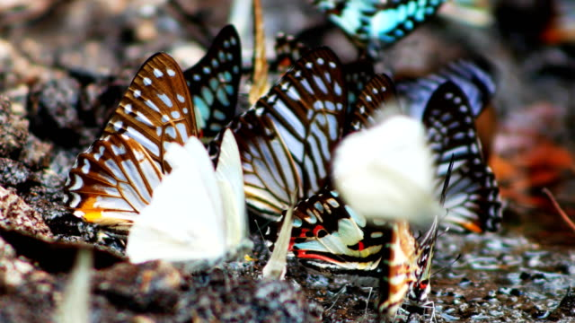 butterfly herd on the ground at khao yai national park
