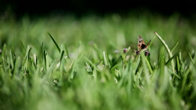 butterfly in the grass - bermuda stock videos & royalty-free footage