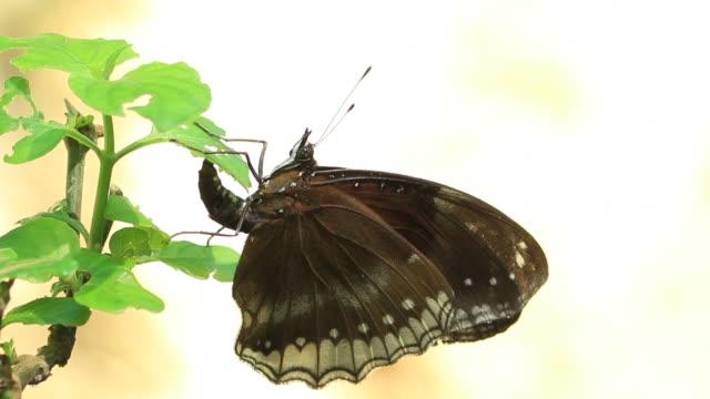 Schmetterling Bauchlage Eier auf green leaf