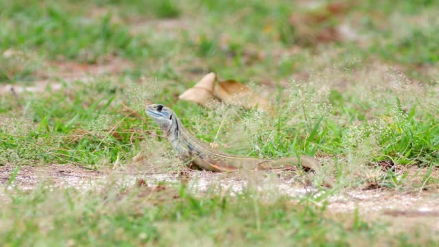 butterfly lizard sand grass. - lizard stock videos and b-roll footage