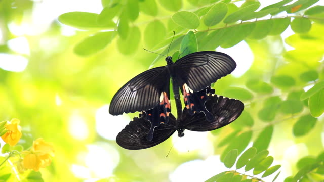 butterfly mating in the garden - animal colour stock videos & royalty-free footage