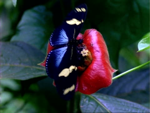 vídeos de stock e filmes b-roll de butterfly, mcu black/cream butterfly lands on red flower, feeds, flaps wings and flies off, panama, central america - asa de animal