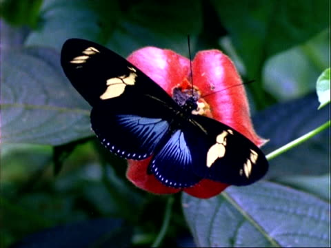 butterfly, mcu black/cream butterfly on red flower, feeds, flaps wings and flies off, panama, central america - tierflügel stock-videos und b-roll-filmmaterial