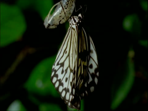 T/L Butterfly metamorphosis from chrysalis to butterfly, white and black, side view