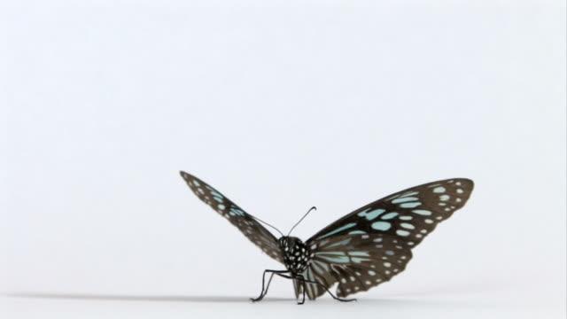 vídeos de stock e filmes b-roll de move suas asas de borboleta lentamente - borboleta
