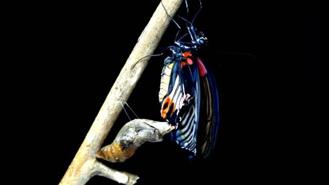 vidéos et rushes de papillons fond noir laps temps nouveaux-nés - cocon