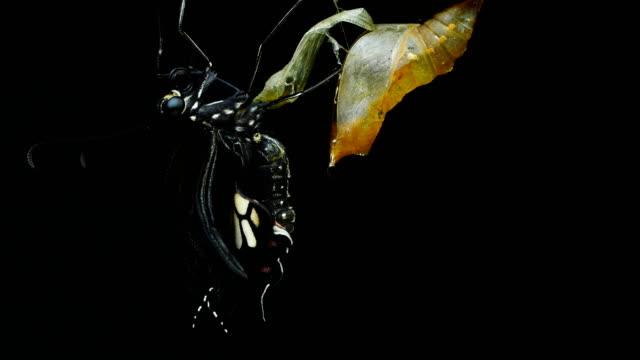 farfalla nuova vita. chrysalis butterfly ball.bozzolo - chrysalis butterfly ball video stock e b–roll