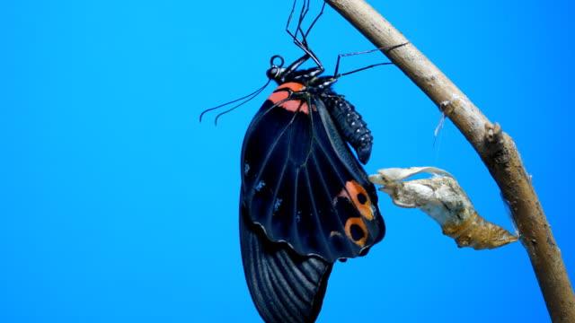 butterfly newborn chroma key - chrysalis butterfly ball video stock e b–roll