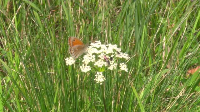 vídeos de stock, filmes e b-roll de butterfly on a flower in thayatal national park in thayatal (austria) - lepidóptero