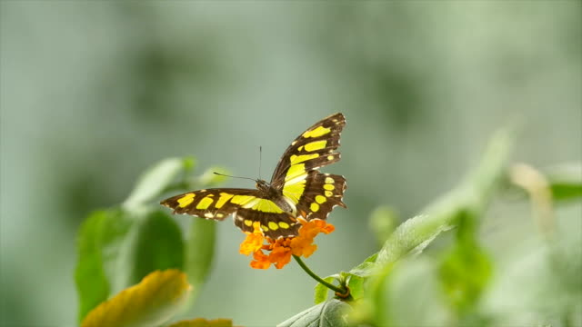 A Butterfly on a flower, resting and flying