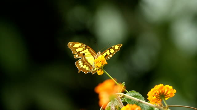 a butterfly on a flower, resting and flying - yellow stock videos & royalty-free footage