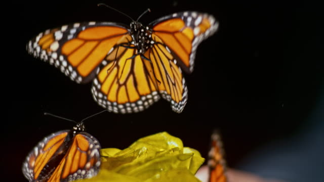 slo mo butterfly on a yellow rose flying away - farfalla video stock e b–roll