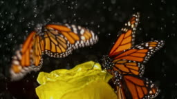 SLO MO Butterfly on a yellow rose taking off when it starts to rain
