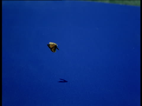 butterfly on blue mat flies off casting a shadow - chroma key stock videos & royalty-free footage
