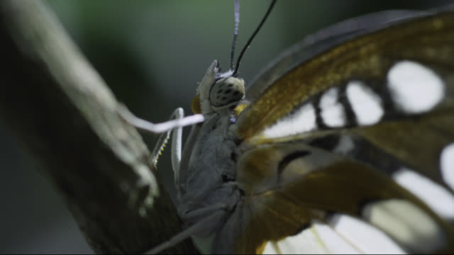 Butterfly (Nymphalidae) on branch in forest