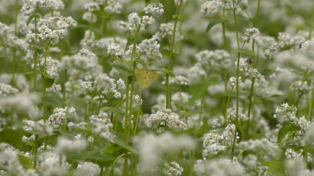 Butterfly On Buckwheat Flower, Nagano, Japan